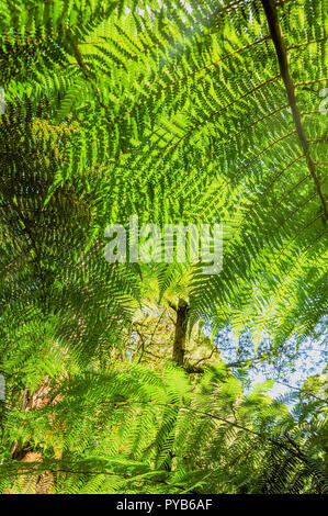 Great Otway National Park. Otway fly tree top walk. Walk among the tops of trees in the Australian forest, near the town of Apollo Bay - Stock Photo
