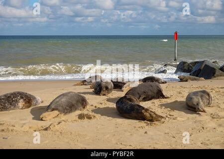 Horsey beach, Norfolk, UK. 26th Oct, 2018. Scores of people enjoy a day out at Horsey beach in Norfolk as a dozen or so grey seals otherwise known as Atlantic grey seal or the Horsehead grey seal, latin name halichoerus grypus or hook-nosed sea pig. The female seals (cows) have come to the beach to give birth to their pups, this happening between October and February. The area is known as the Horsey grey seal colony. © Paul Lawrenson 2018, Photo Credit: Paul Lawrenson / Alamy Live News - Stock Photo