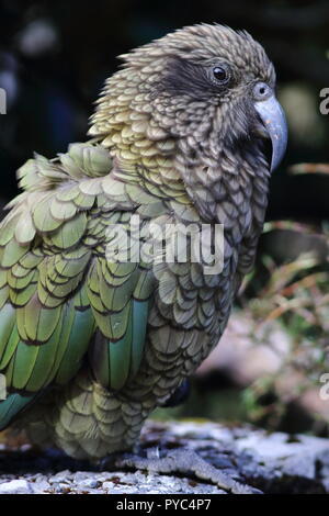 Kea, Nestor notabilis, three quater portrait showing shape and length of beak and you can see a ring on this Mountain Parrot bird found in New Zealand - Stock Photo