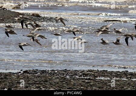 Bar-tailed godwit, Limosa lapponica, flock in flight over shoreline at Motueka beach, New Zealand, note up curved beak. - Stock Photo
