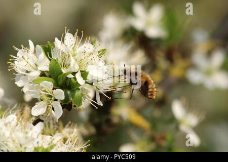 Beefly hovers over a hawthorn white flower, collecting nectar via its long proboscis, feeding on the wing on the early Mayflower is this odd insect. - Stock Photo