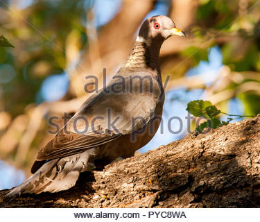 This band-tailed pigeon's head is illuminated with the sun while most of the rest of its body is in shadow. - Stock Photo