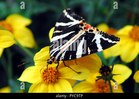 Close up of a uniquely beautiful black, white and red butterfly on yellow flowers in Brittany, France.  Note the tiny fly by its foot. - Stock Photo