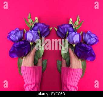 two female hand in a pink sweater holding a branch of a blue flower Eustoma Lisianthus on a pink background, top view - Stock Photo