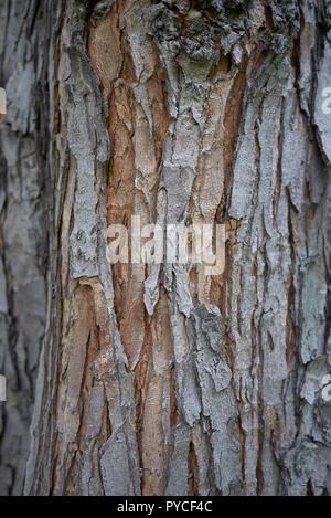Acer saccharinum bark close up - Stock Photo