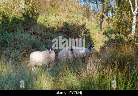 Three sheep grazing on common land pause to look at the camera. - Stock Photo