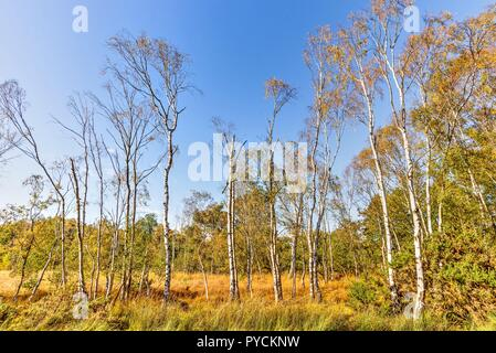 A spread of silver birch trees on moorland in autumn. Some have already lost all their leaves, others are adorned with golden orange foliage. - Stock Photo