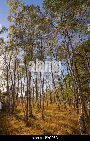 A cluster of silver birch trees in autumn. Long shadows thrown by the afternoon sun fall onto the forest floor. A blue sky is overhead. - Stock Photo