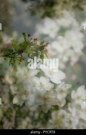 Double exposure of close up of white apple blossoms