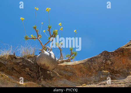 Elephants Foot plant, Pachypodium rosulatum, Isalo National Park, Central Madagascar - Stock Photo