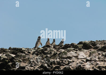 Humboldt Penguins chatting - Stock Photo