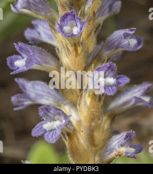 Branched broomrape, Orobanche ramosa, in flower. Parasite on Oxalis. Rhodes.