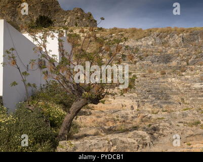 Persian lilac, Melia azedarach in fruit; planted at Lindos, Rhodes. - Stock Photo