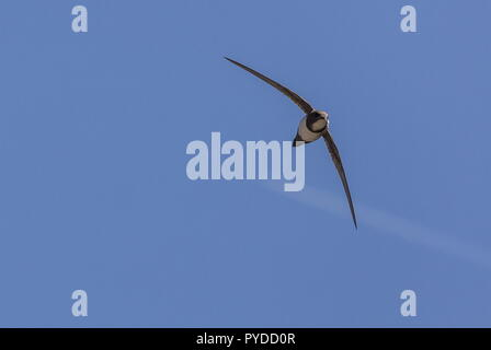 Alpine Swift, Tachymarptis melba, in flight, Rhodes. - Stock Photo
