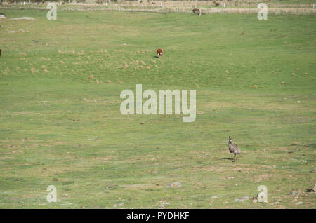 Emu walking in the snowy mountains area - Stock Photo
