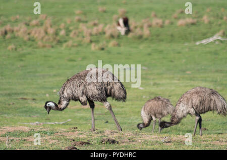 Emus walking and feeding in a field with cows in the snowy mountains area - Stock Photo