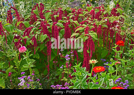 Detail of a flower border with Amaranthus caudatus, Love lies bleeding and Zinnias - Stock Photo