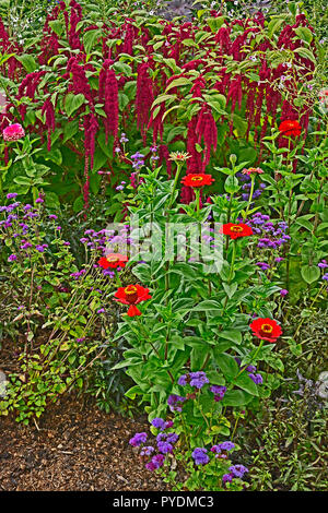 Detail of a flower border with Amaranthus caudatus, Love lies bleeding and Zinnias - Stock Photo