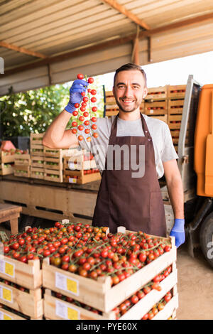Male farmer picking fresh tomatoes in boxes and holding a gripe of cherry tometoes in hands from his hothouse garden - Stock Photo