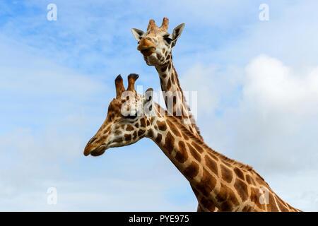 Two female Rothschild's giraffes at Fota Wildlife Park near Cobh, County Cork, Republic of Ireland - Stock Photo