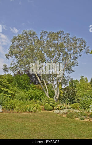 An impressive Eucalyptus pauciflora niphophila 'Snow Gum' growing in an English garden - Stock Photo