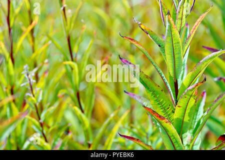 Rosebay Willowherb (epilobium angustifolium or chamerion angustifolium), close up of the leaves and stem as they change colour and die off. - Stock Photo
