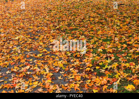 A horizontal image of maple tree leaves that have fallen and are covering the ground in the cool fall weather in Sussex New Brunswick, Canada. - Stock Photo