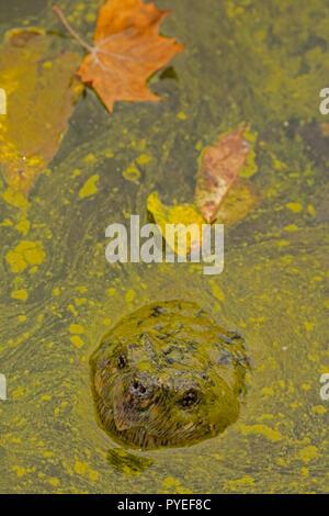 snapping turtle,Chelydra serpentina, and algal bloom,Cyanobacteria, blue-green algae, microcystin-producing cyanobacterium,Woronichinia naegliana,Md. - Stock Photo