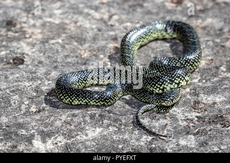 Speckled king snake - Lampropeltis getula holbrooki - Stock Photo