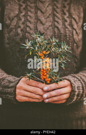 Woman hands holding sea buckthorn  berries plant organic food Healthy Lifestyle cozy knitted sweater scandinavian hygge style - Stock Photo