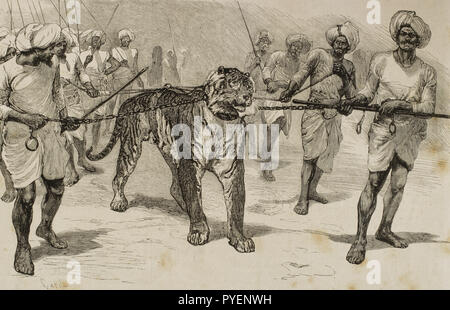 British colonialism. Journey of the Prince of Wales (1841-1910) to India. Later he would become the King Edward VII of the United Kingdom. Captive tiger presented to the Prince after beast fights. City of Baroda or Vadodara. Engraving by Capuz. La Ilustracion Española y Americana, January 22 of 1876. - Stock Photo