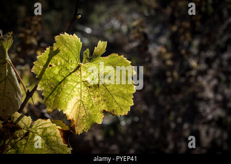 Vine leaves in autumn before falling. - Stock Photo