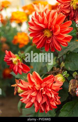 Beautiful flower red dahlia grows in garden on background green sheet - Stock Photo