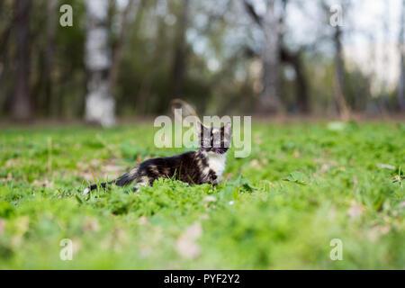 Little kitten tortoiseshell color in the park runs on the grass - Stock Photo