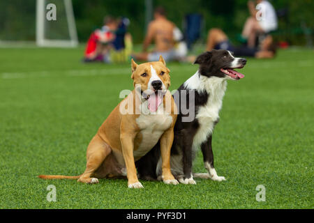 Dogs, border collie and Staffordshire terrier sit on a background of green grass on a football background against the background of resting people - Stock Photo