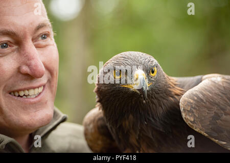 UK, Sherwood Forrest, Nottinghamshire  Birds of Prey Event -  October 2018: This Golden Eagle in part of a breeding & conservation program in the UK.  - Stock Photo