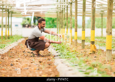 A young man in uniform works in a greenhouse. Fresh season vegetables. Ripe cucumber on a branch. - Stock Photo