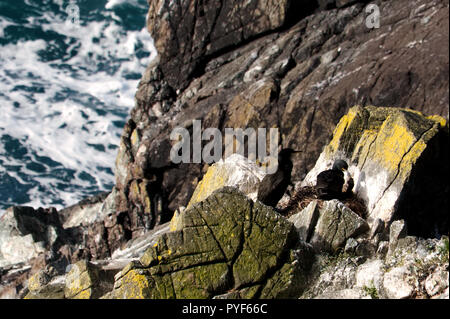 European Shags (Phalacrocorax aristotelis) nesting with single chick; Kynance Cove; The Lizard; Cornwall - Stock Photo
