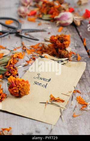 Tagetes.. Marigold seed taken from dried seed heads saved into envelope for future planting, autumn, UK