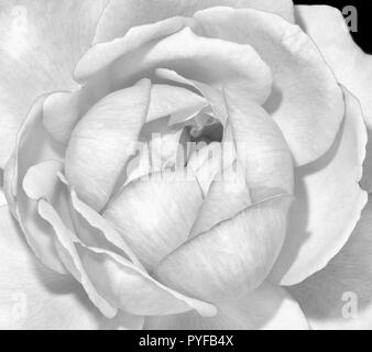 Monochrome black and white fine art still lifel macro flower image of a single isolated rose blossom on black background with detailed texture - Stock Photo