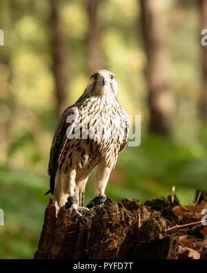 UK, Sherwood Forrest, Nottinghamshire  Birds of Prey Event - October 2018: Juvenile Gyr Peregrine in captivity. The name Gyrfalcon may be a hybrid of  - Stock Photo