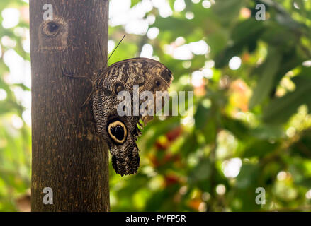 Caligo eurilochus the forest giant owl, sitting on the tree, ventral view. Owl butterflies, the genus Caligo (darkness), are known for their huge eyes - Stock Photo
