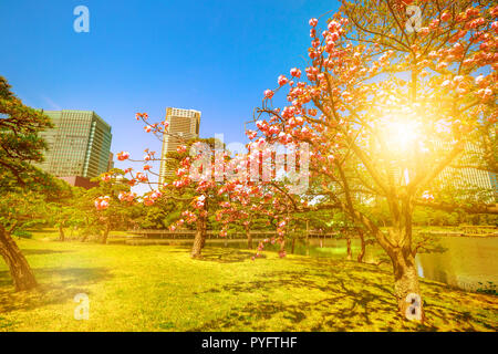 Blossoming cherry tree in Hamarikyu Gardens, Tokyo, Chuo district, Japan at sunset. Oriental japanese garden during Hanami. Cherry blossom is considered the national flower of Japan. Day light shot.