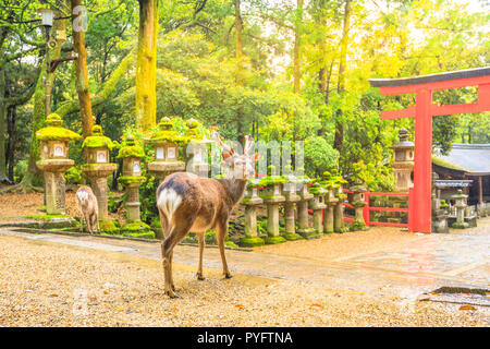 Wild deer in Nara Park in Japan. Deer are symbol of Nara's greatest tourist attraction. On background, red Torii gate of Kasuga Taisha Shine one of the most popular temples in Nara City. - Stock Photo