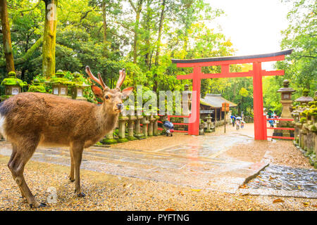 Wild deer and Torii gate of Nara Park in Japan. Deer are Nara's greatest tourist attraction. red Torii gate of Kasuga Taisha Shine one of the most popular temples in Nara City. - Stock Photo