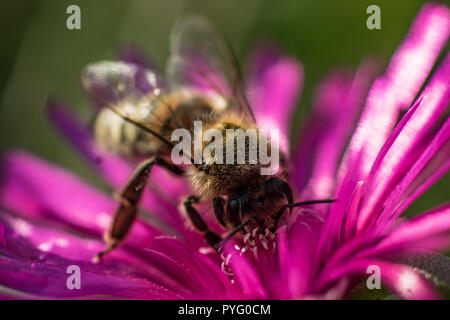 Bee on noon flower macro close up - Stock Photo