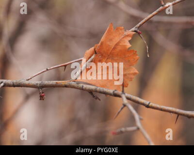 Dry fallen autumn leaf hanging on the thorns of hawthorn. Defoliation. - Stock Photo