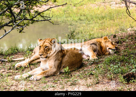 Two female lions resting near a pond at Kruger National Park - Stock Photo