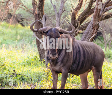White-bearded wildebeest look curiously at Kruger National Park - Stock Photo