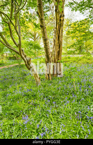 Three trees standing amidst bluebells in bluebell wood, near Coventry, Warwickshire, England, UK - Stock Photo
